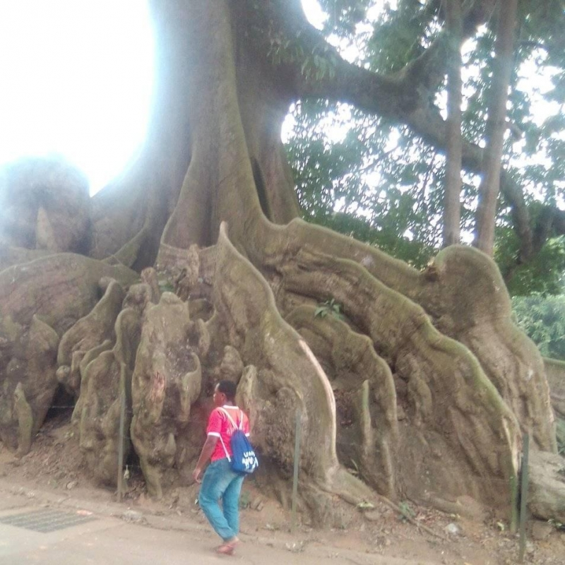 This tree is at Bingerville the second colonial capital of Ivory Coast,very very old tree