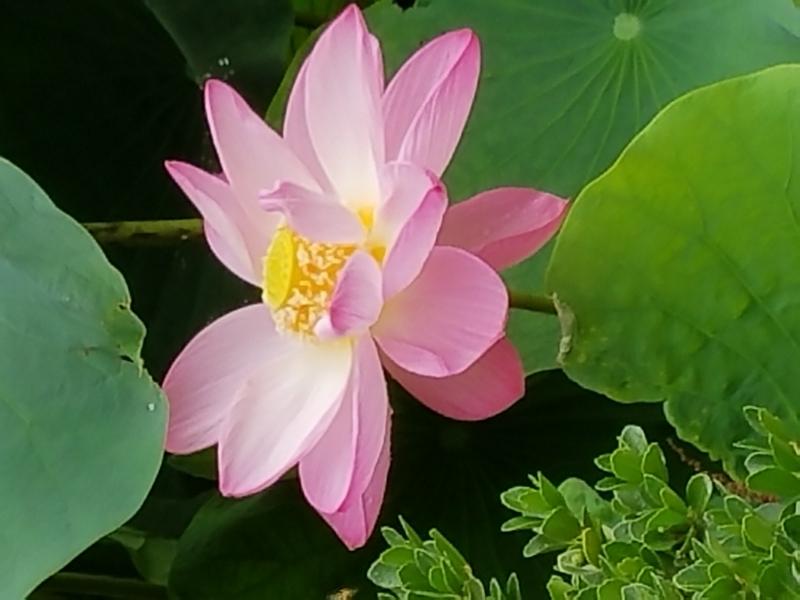 Red lotus flowers bloom in the Heike pond