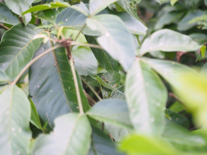 Green crested lizard playing hide-and-seek
