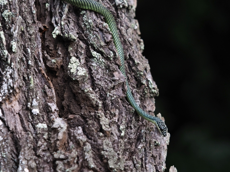 cute paradise tree snake