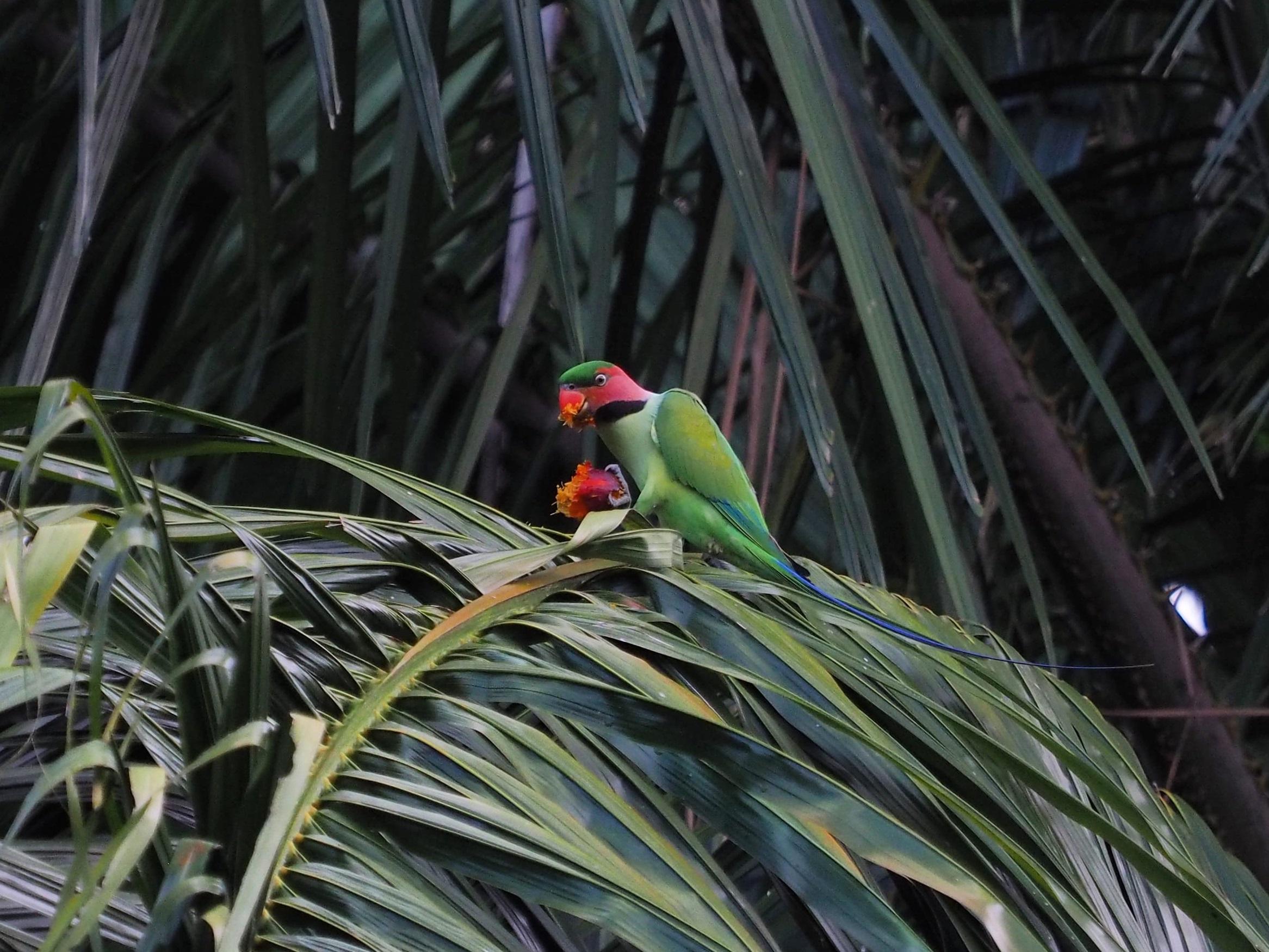 Parakeet enjoying its meal