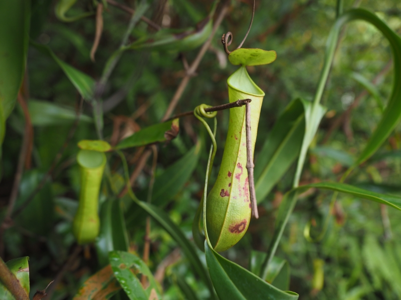 Pitcher plant spotted