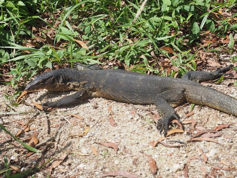 Monitor lizard getting his vitamin D