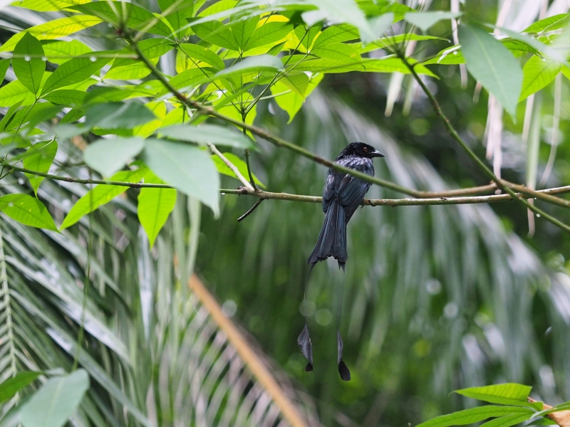 Greater racket-tailed drongo with that beautiful trailing racket tail