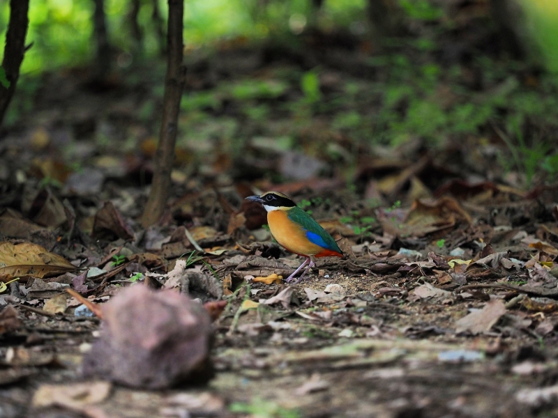 Colourful blue-winged pitta foraging the forest floor