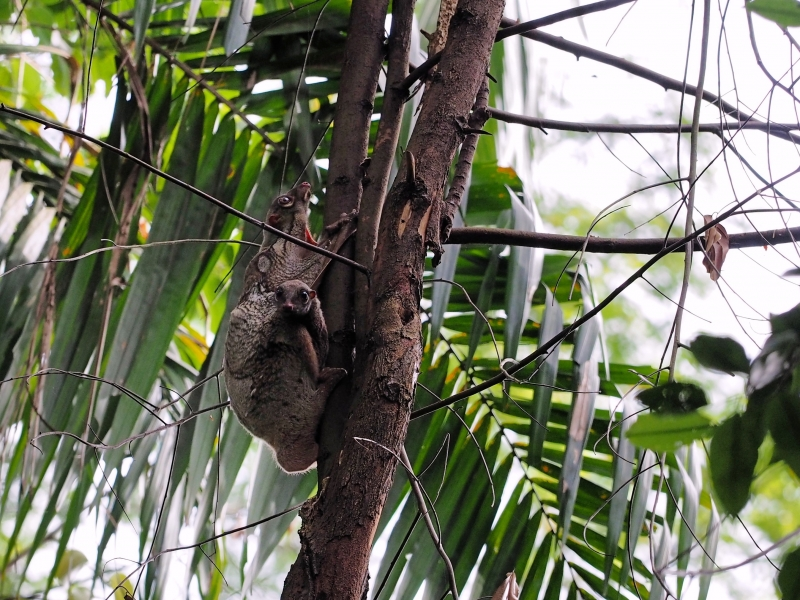 Colugo with its young