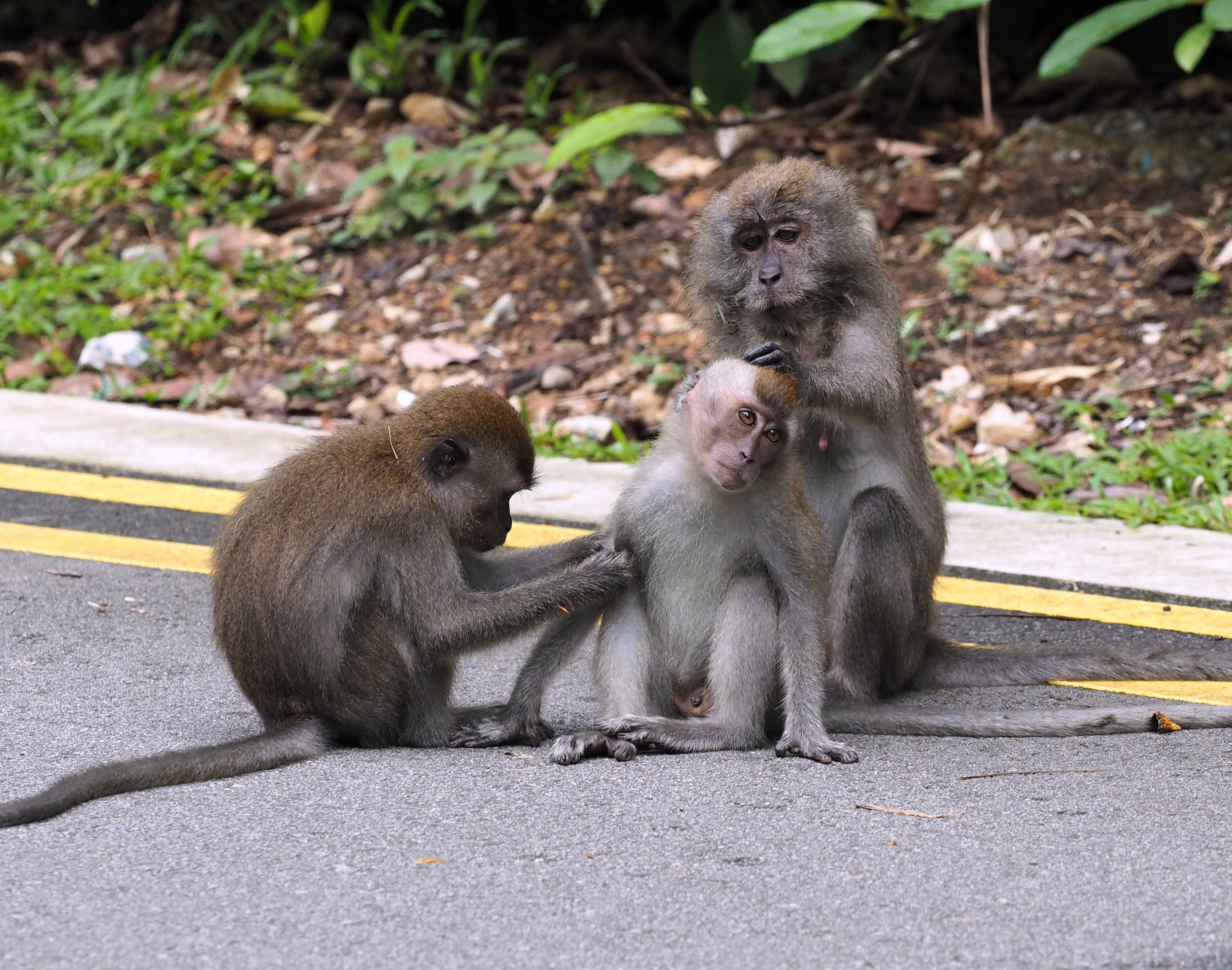 Long-tailed macaque busy grooming