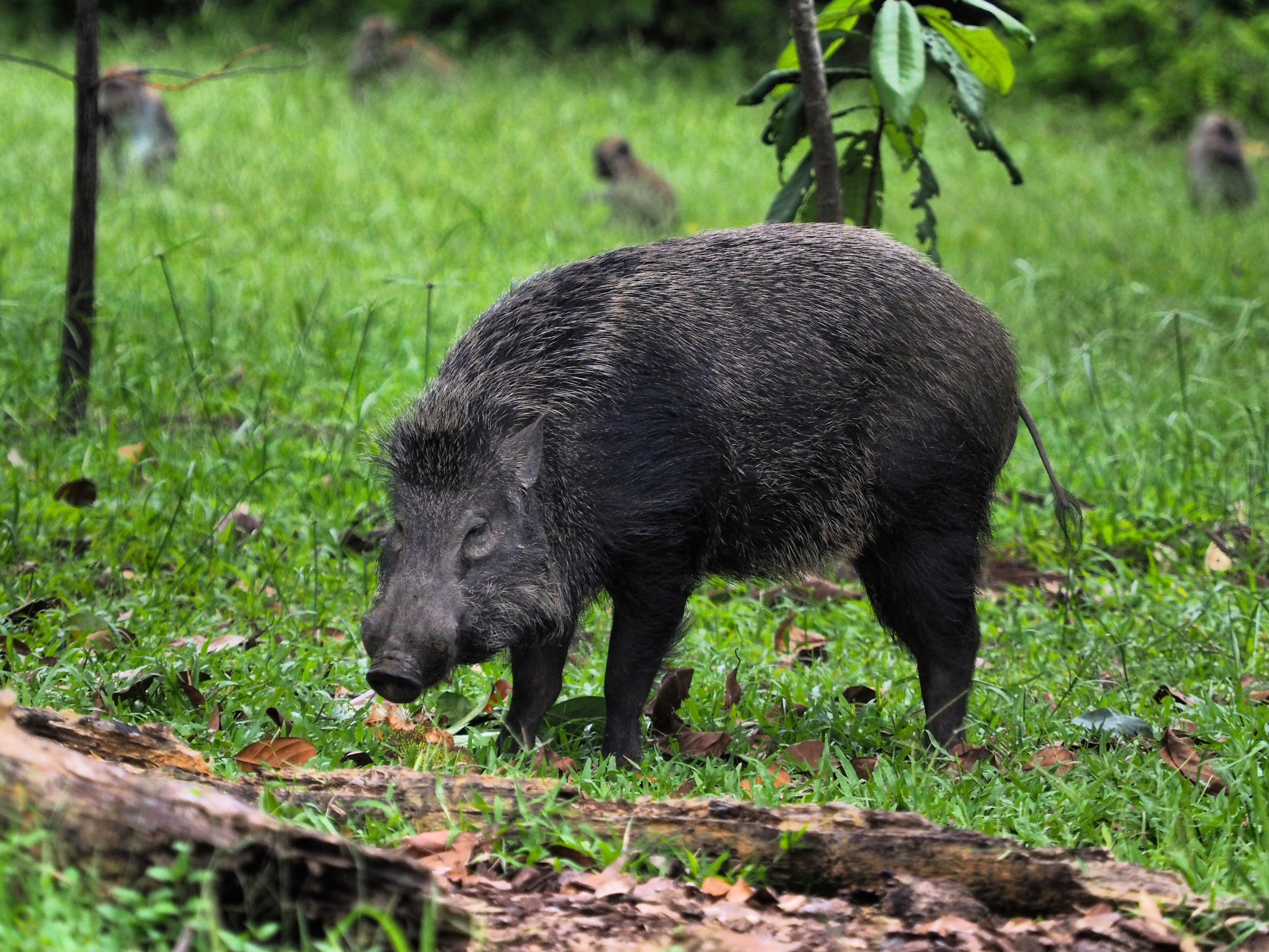 Wild boar out for a stroll