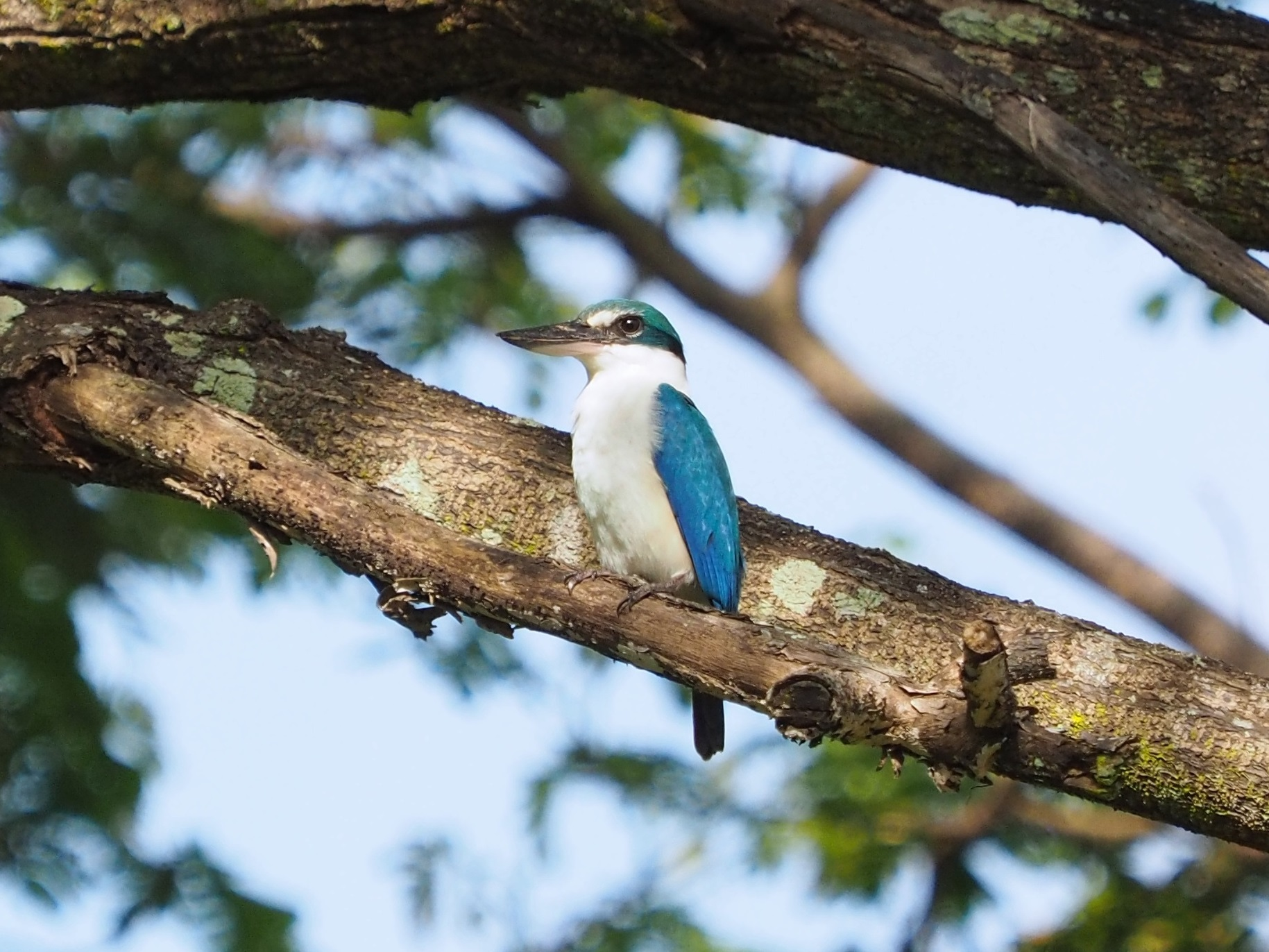 Raucous calling from the noisy collared kingfisher
