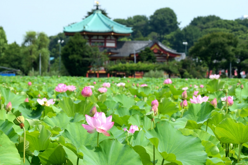 Lotus pond in Ueno Park represents Buddhist Paradise.