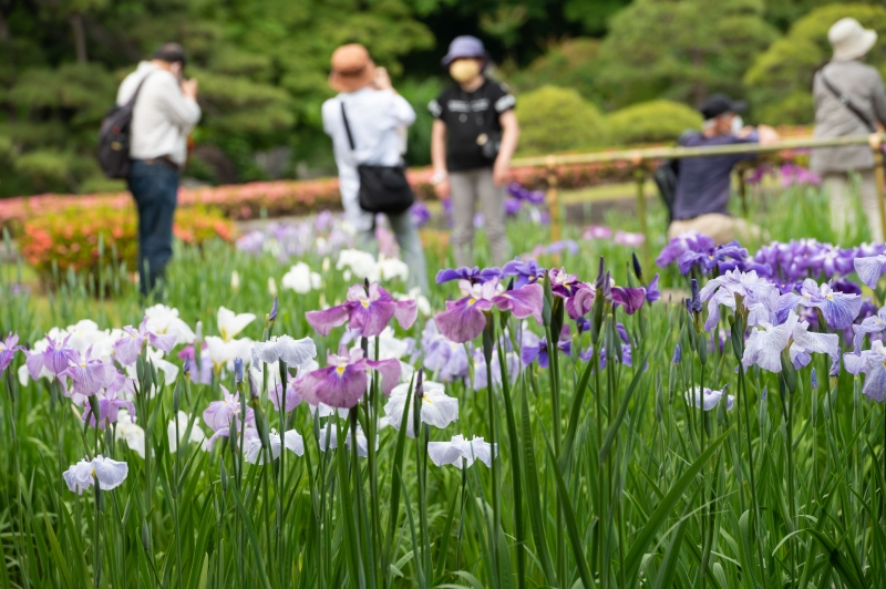 Enjoy the beauty of iris flowers from home.