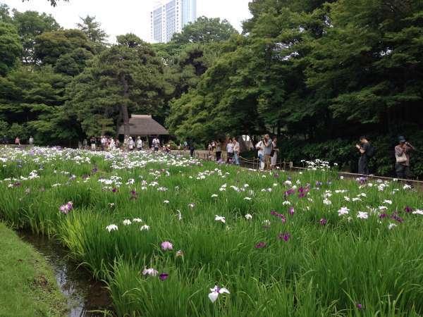 The Irises  garden of Koishikawa-korakuen