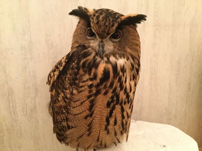 S6. Akihabara (Owl cafe, optional)
