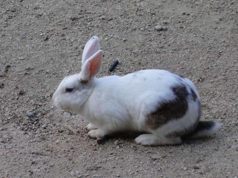 Lapin (in French), Rabbit (in English), Usagi (in Japanese)