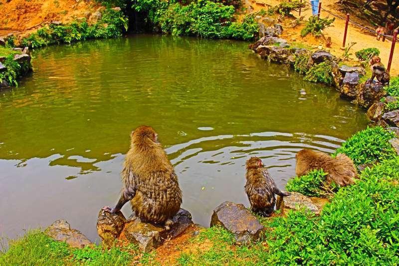 Swimming monkeys in summer.