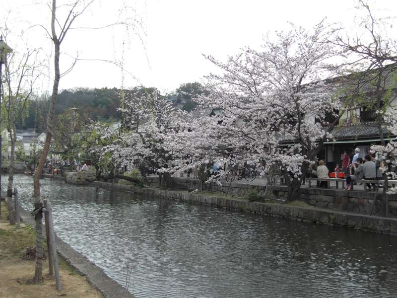 a canal with beautiful cherry trees, runnning the center of Bikan area