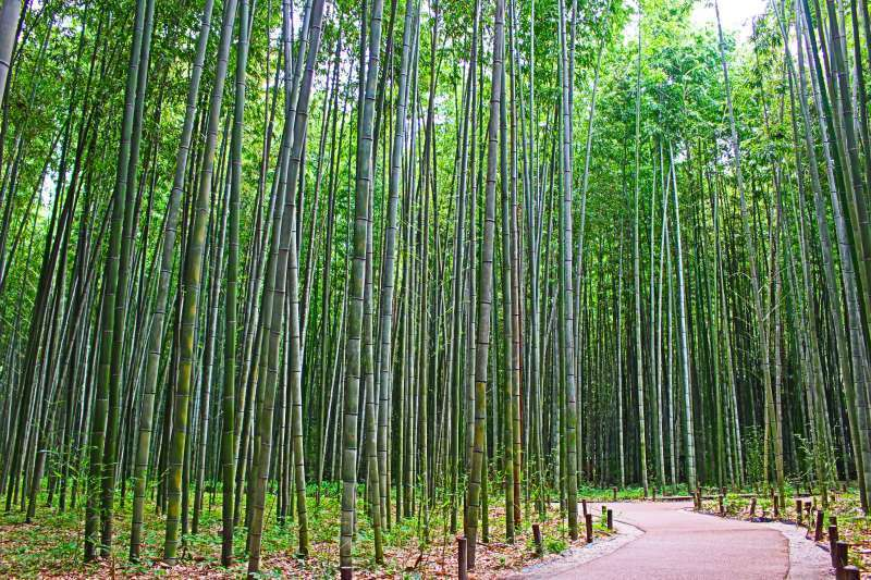 Arashiyama Bamboo Groves. Enjoy the nature sound and the fresh breeze.