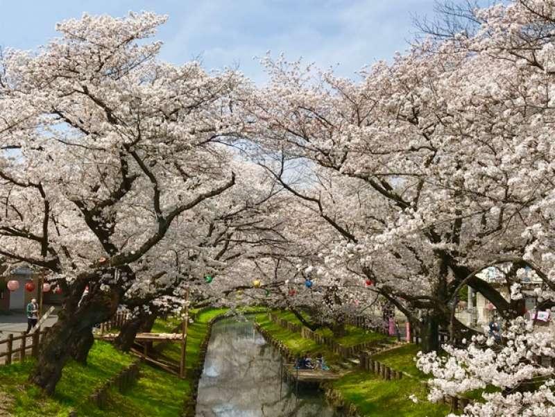 Cherry blossoms over the Shingashi River running behind the Hikawa Shrine