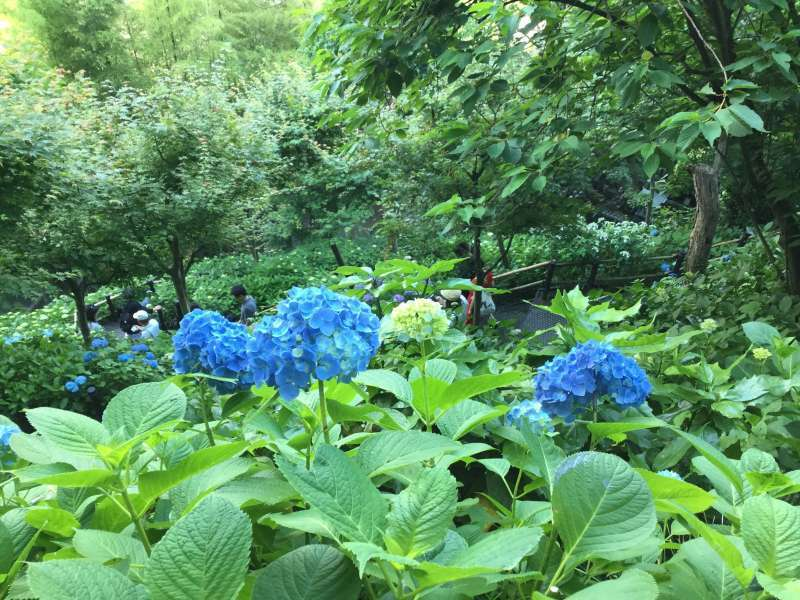 Hase-Dera Temple: Hydrangea trail  (Blooming in June)