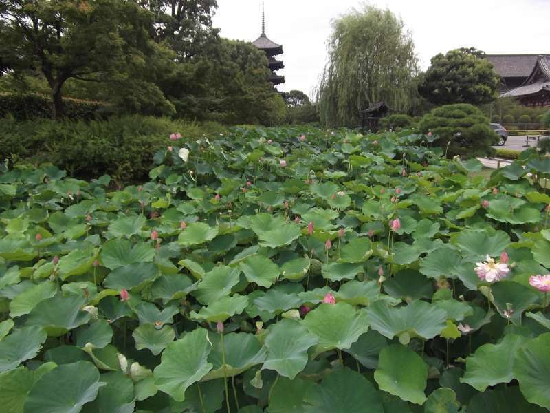 Lotus flowers at Toji temple.