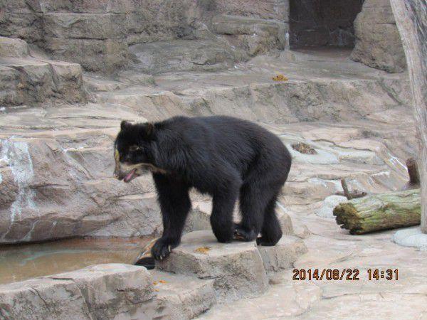a black bear at Tennoji zoo