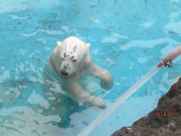 a polar bear called