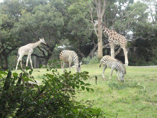 giraphs  at Tennoji zoo