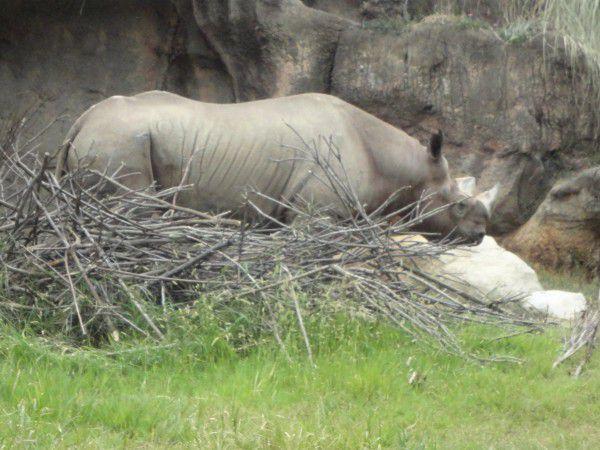 a rhinoceros  at Tennoji zoo