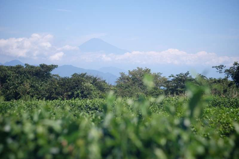 Mt. Fuji over the tea field of Nihondaira Ocha Kaikan in summer
