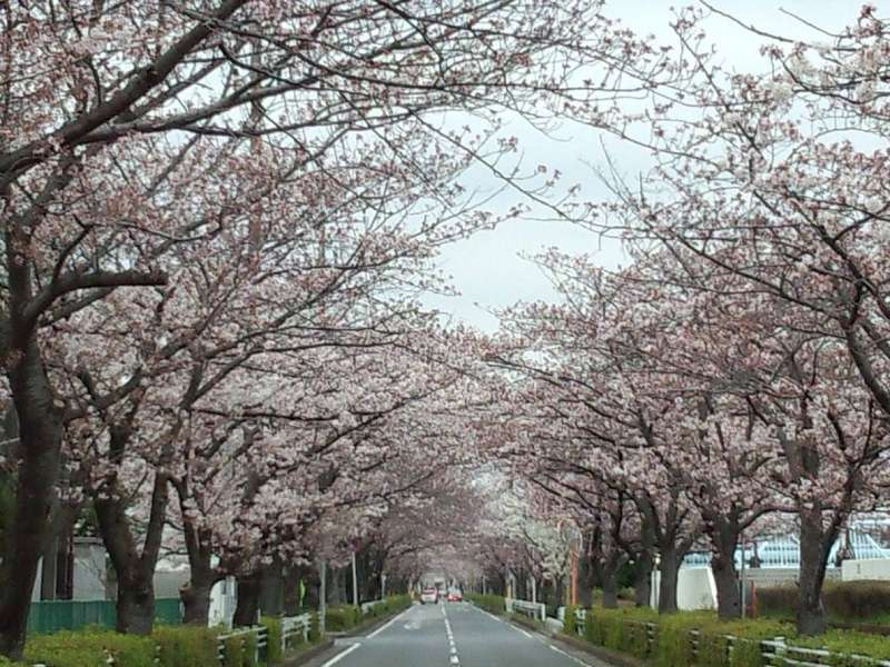 Cherry blossoms in Urayasu (photos were taken in 2016)