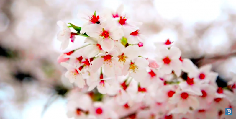 Tokyo in March 2020 - Things To Do, Cherry Blossoms, and Events