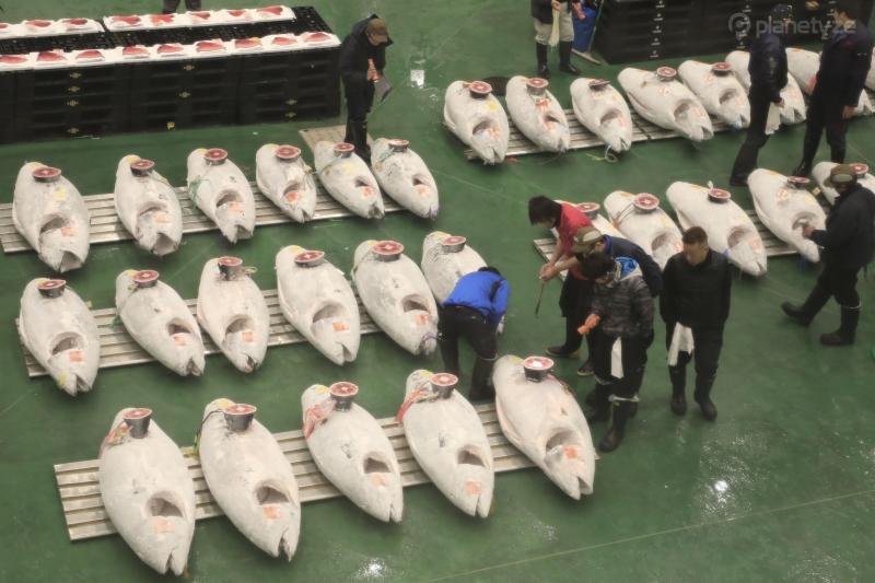 Tuna Auction in Tokyo: Toyosu Fish Market Guide