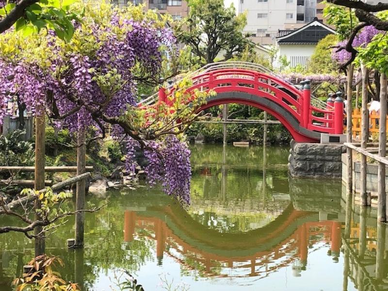 Wisteria bringing Tokyo early summer