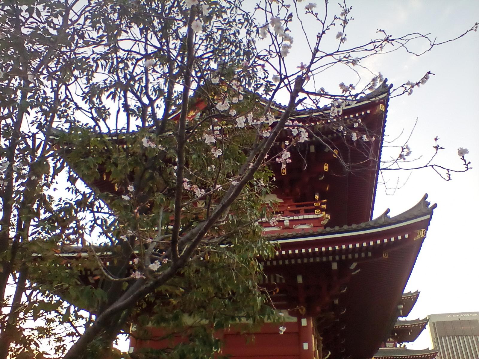 Sakura at Asakusa