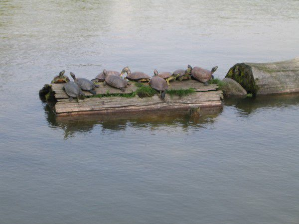 Turtles are in Sarusawa Pond.