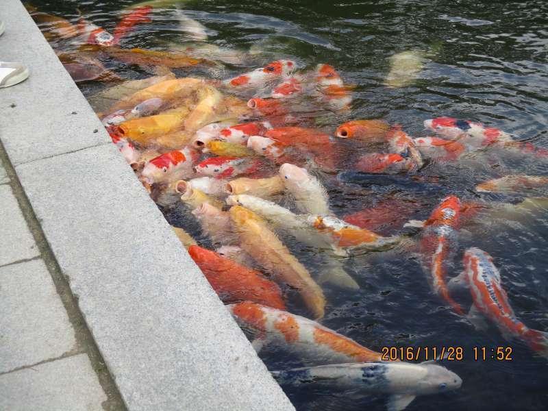 Carp in Takuei Pond
