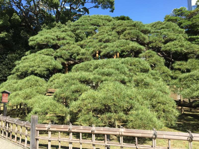 In Hamarikyuu Japanese strolling style garden, there is an old tree called 300 year pine tree. 