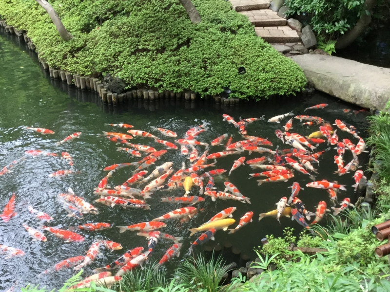 2b. Happo-En's Japanese Garden (Varicolored carps in the pond)