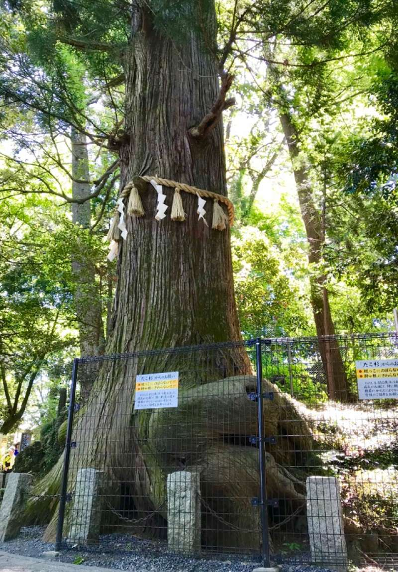 Takosugi - Octopus-shaped Japanese Cedar