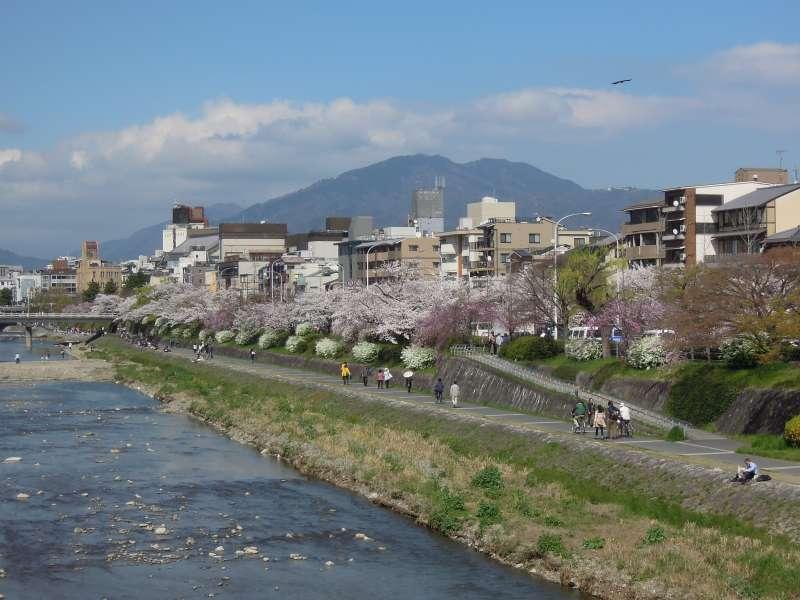 Cherry Blossom along the Kamo River