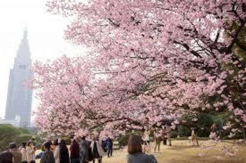 Shinjuku Goen's Cherry Blossom