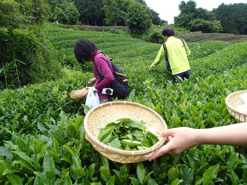 You can enjoy tea picking experience and bring a bag of fresh tea home.