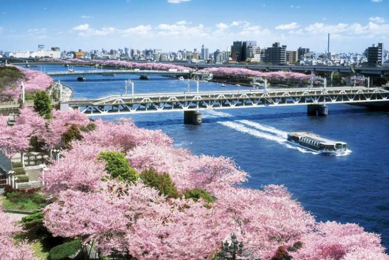 You can see beautiful cherry trees from Sumida river cruse.