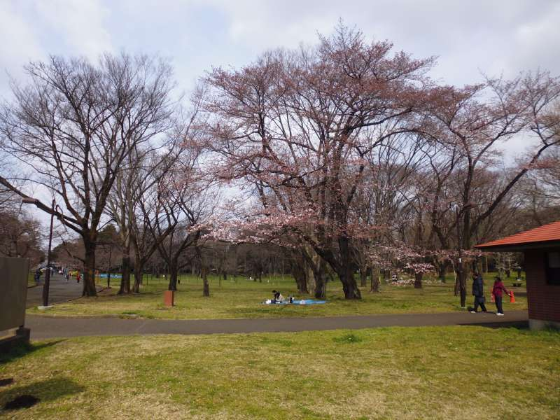 The scene of a family or couple enjoying cherry blossom viewing is common throughout Japan from late March through April. People eat, drink, and socialize under cherry trees when their blossoms start to bloom.
