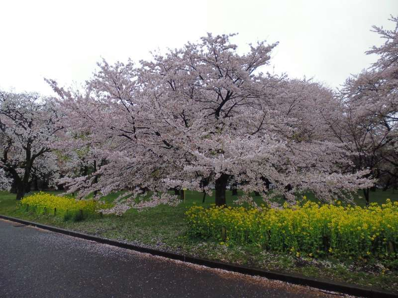 Koganei Park is selected as one of 100 cherry blossom viewing spots in Japan by Japan Cherry Blossom Association. It boasts 1800 chrry trees.