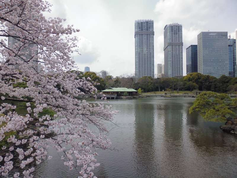 In the Edo period(1603-1867),Hama Rikyu functioned as Shogun's detached palace. Today, it is a scenic place of rest and relaxation for people all over the world. There is a tea house near the pond.