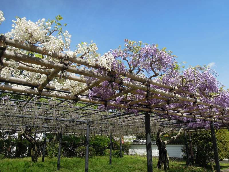 Wisteria in full blossom at Byodo-in Temple
