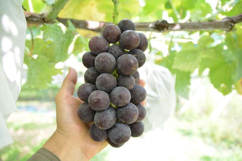7月30日「体验收成葡萄/葡萄味道进行比较」的小旅游。