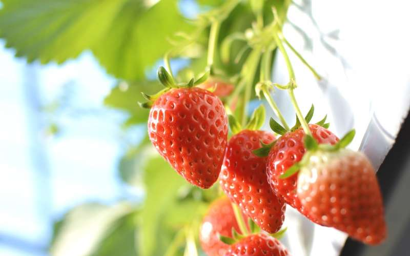 From winter to spring, strawberry picking is available in many farms' plastic grennhouses.