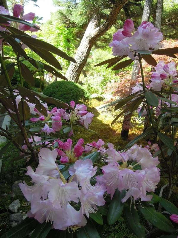 Peony in bloom at Jojako-ji Temple, Arashiyama